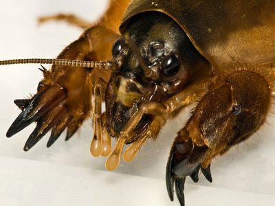 Lótetű, lótücsök (Gryllotalpa gryllotalpa)