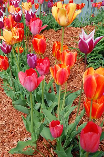 tavaszi hagymások, tulipán