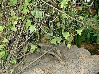 Szélestalpú díszuborka (Gerrardanthus macrorrhizus)