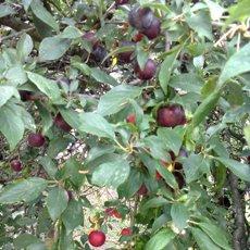 Cseresznyeszilva (Prunus cerasifera)