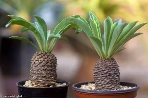Euphorbia bupleurifolia pozsgás növény