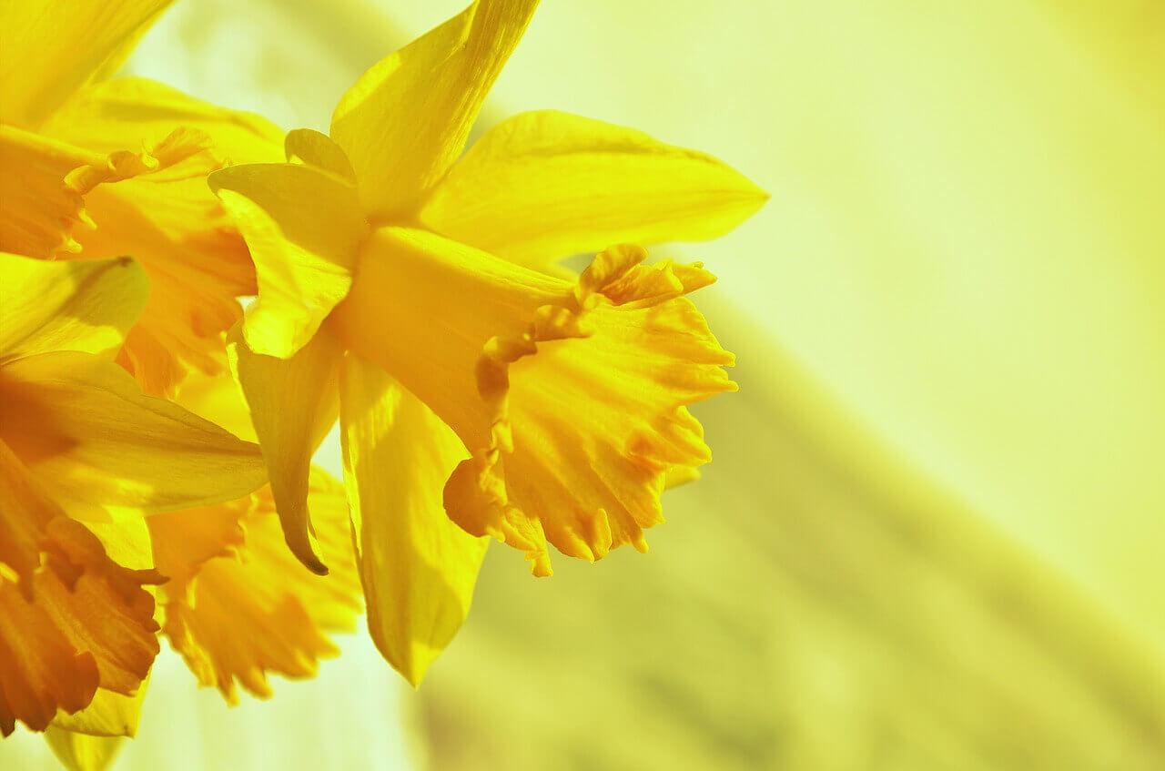 Nőnapi nárcisz, sárga nárcisz virág