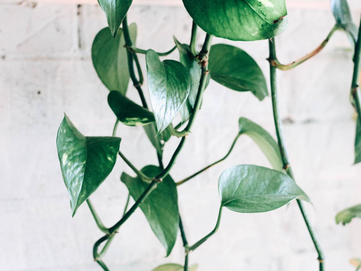Pothos is a hard-to-kill houseplant, pictured here hanging down from the top of the photo, in front of a whitewashed brick wall. The photo is bright.