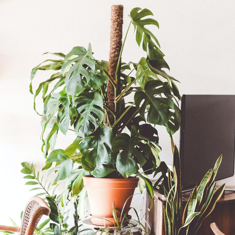 monstera deliciosa climbing a moss pole surrounded by other houseplants.