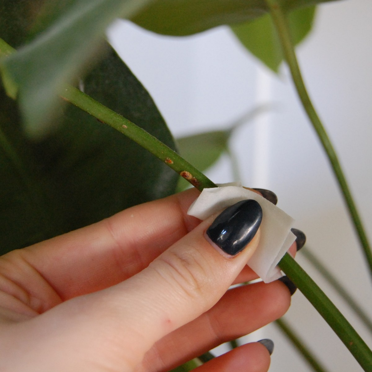 Removing scale (a common houseplant pest) from the stem of a Monstera.