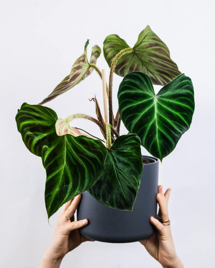 Hands holding a philodendron (aroid) in the air. Planted in a grey pot with soil mix for aroids.