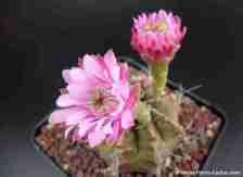 floración de cactus Gymnocalycium cactus con 2 flores color rosadas y rosada calida