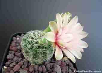 floración de cactus Gymnocalycium cactus con 1 flor color blanca con matices rosados