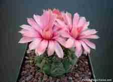 floración de cactus Gymnocalycium Cactus con 3 flores de color rosadas, muy bonitas