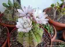 Coleccionista de Cactus Gilberto!