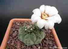 floración de cactus Gymnocalycium Cactus con 1 flor blanca y amarilla, excelente