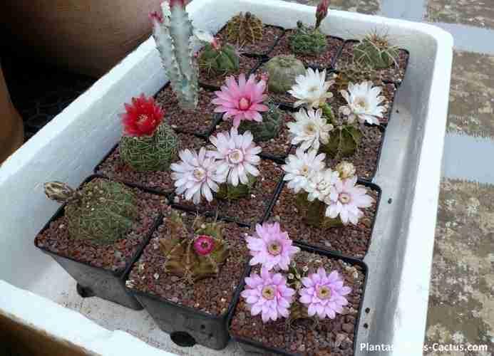 Floración de cactus Gymnocalycium Cactus florecidos, hermosos con flores de color blancas y rosadas