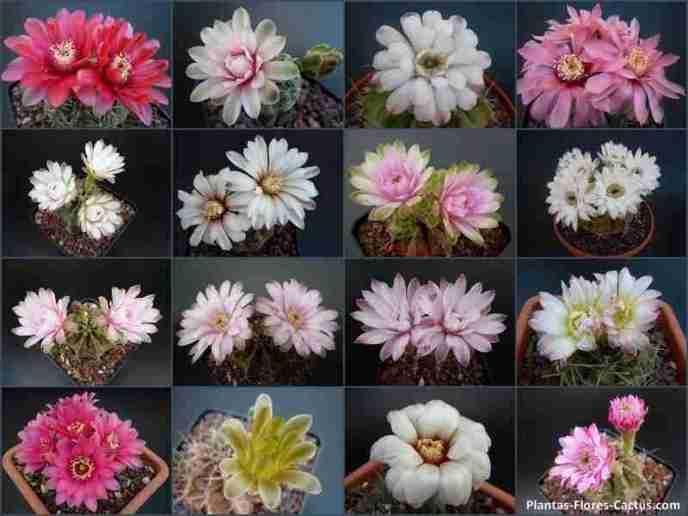 como hacer florecer cactus