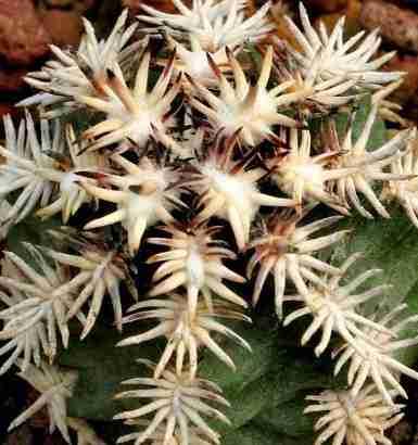 """Cactus mas pequeño del mundo Echinocereus davisii y """"brevispinus"""" 1"""
