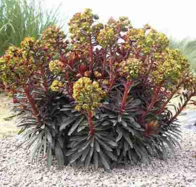 Euphorbia Pajaro Negro