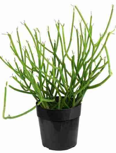 Euphorbia tirucalli - Árbol de los dedos 5