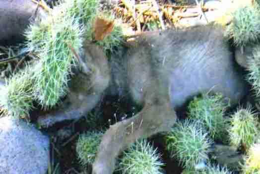 Increible!! Un cachorro de lobo, desesperado por ayuda. Lleno de espinas de Cactus (Opuntia) 2