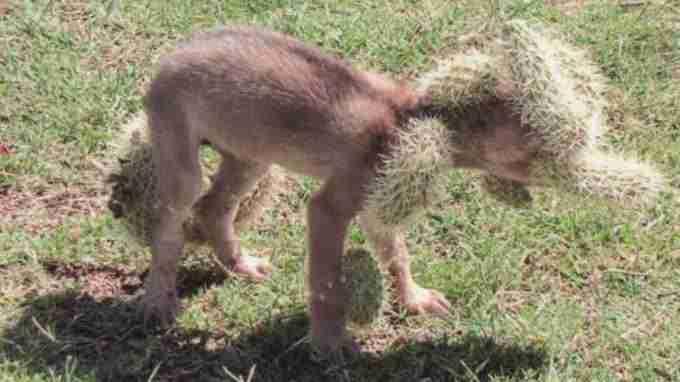 Increible!! Un cachorro de lobo, desesperado por ayuda. Lleno de espinas de Cactus (Opuntia) 4
