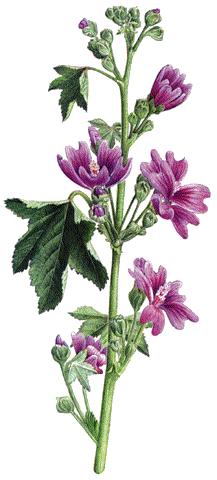 Malva (Font: plantas-medicinales.servidor-alicante.com)