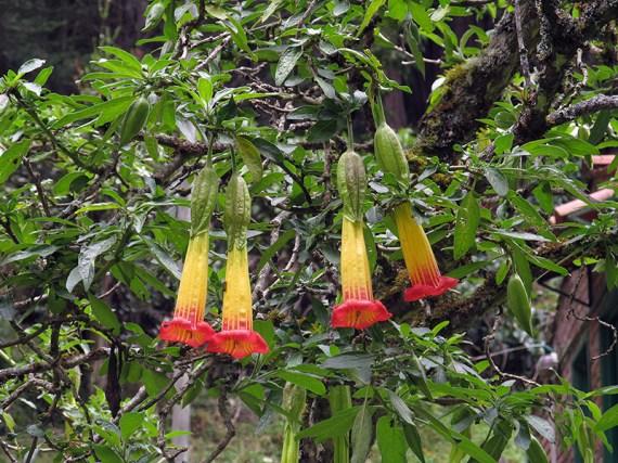 Brugmansia sanguinea - Solanaceae