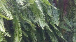 Planta samambaia, como cuidar de samambaia de metro e samambaia renda portuguesa