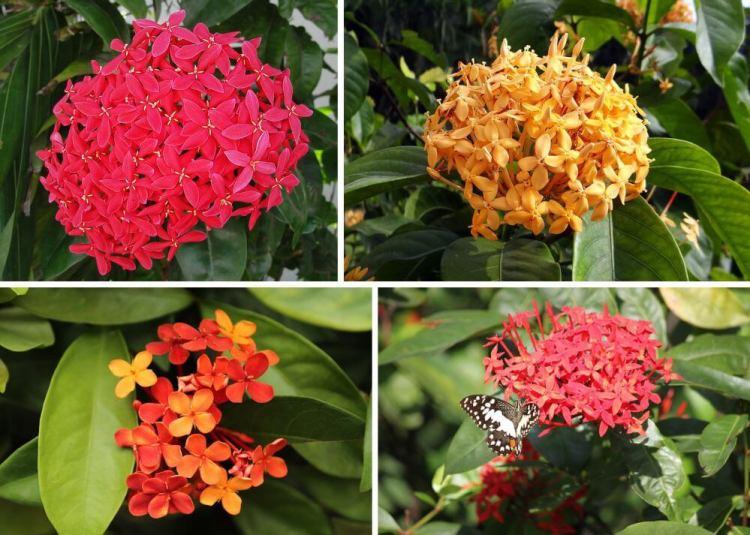 Plantas Ornamentais Para Jardim Sol E Meia Sombra Plantas