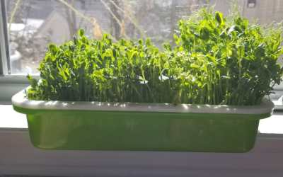 How to Grow Pea Shoots in Five Easy Steps