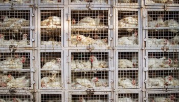 MPs Call On UK Prime Minister Boris Johnson To Outlaw Intensive Farming