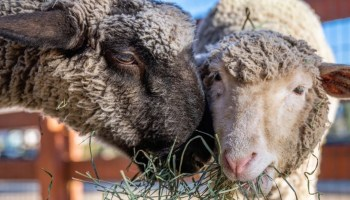 Farm Sanctuary is the only 'cause-led' nominee for the acclaimed social category of the Webby Awards
