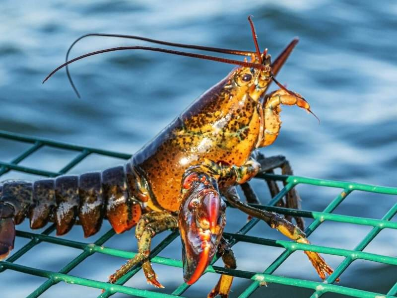 Boiling Lobsters And Squid Alive Could Soon Be Banned In The UK