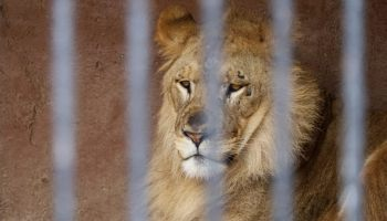Captive Animals In Nearly 70 Zoos To Receive Experimental Covid Vaccine