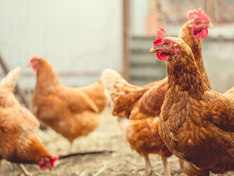 New Vegan Nuggets To Save Over 1.1 Million Chickens From Slaughter