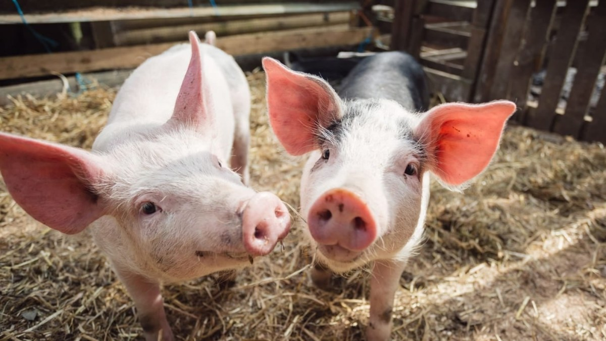World's First 'Festival For Pigs' Arrives In UK, And It's Vegan