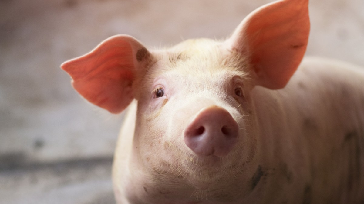 Scientists Are Growing Gene-Edited Organs In Pigs For Human Transplants