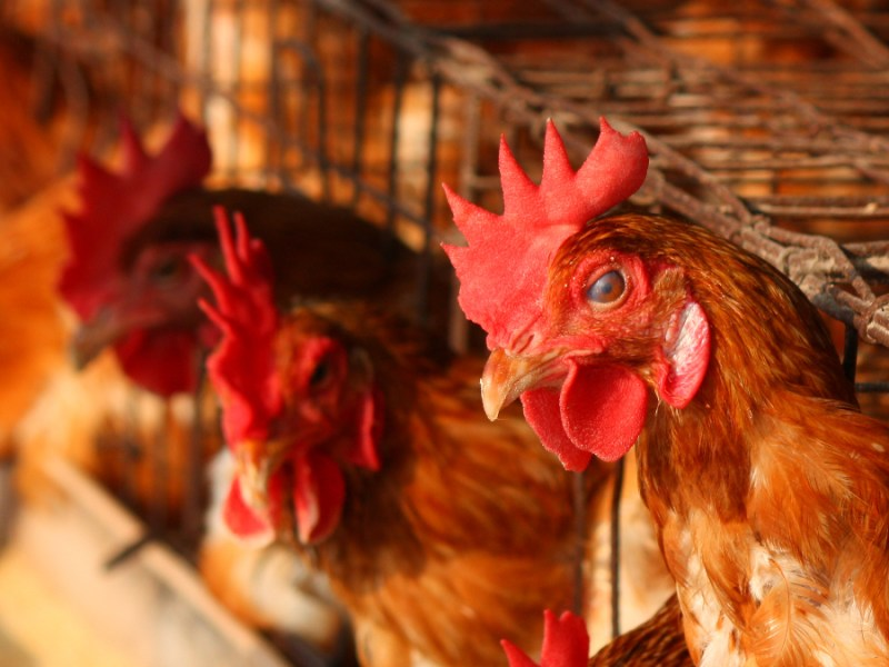 The Beatrice Bill is set to improve welfare by removing cages for laying hens
