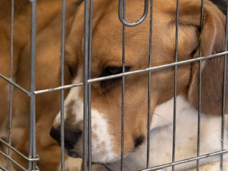 beagle dog in a cage for animal tests