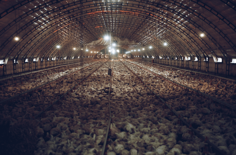 chickens crowded in a factory farm being raised for meat