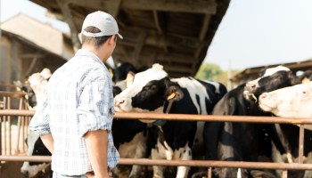 Dutch Farmers Face Calls To Reduce Livestock By 30% To Help Protect The Planet