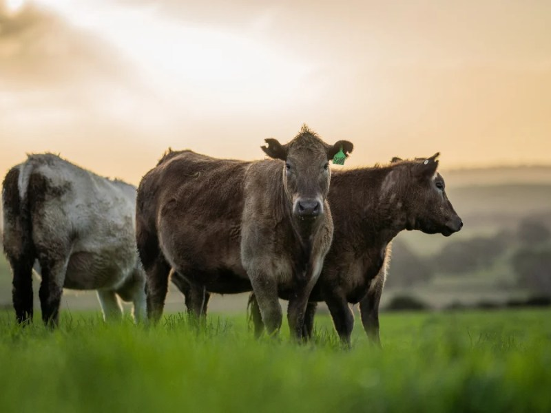 Beef industry tactics identified by think tank Faunalytics