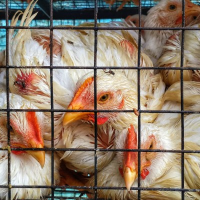 Vets call on New Zealand agriculture minister to ban colony cages