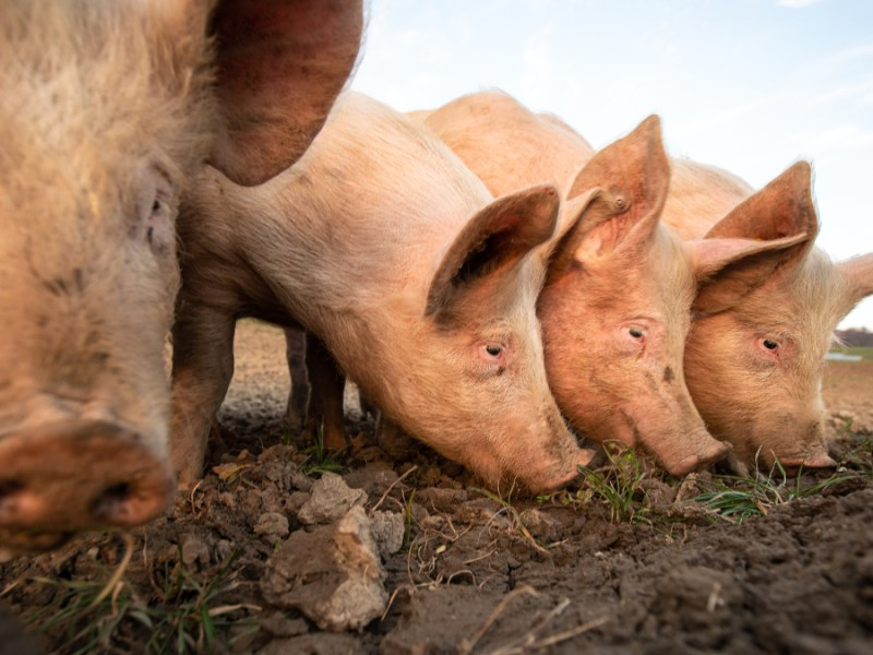 UK meat industry warns thousands of pigs are to be killed