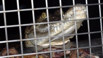 Hermès Urged To Ditch Crocodile Skin Due To 'Horrendous' Animal Cruelty