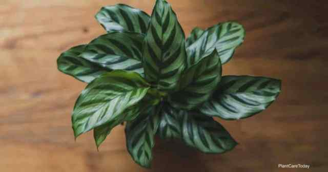 Calathea Freedie potted with attractive zebra like patterns on leaves