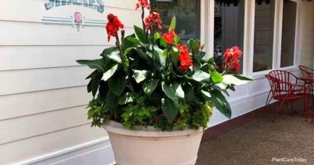 Potted Canna bulbs in bloom