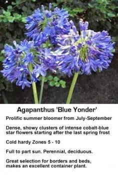 agapanthus-blue-yonder-043014