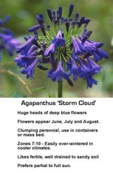 agapanthus-storm-cloud-043014