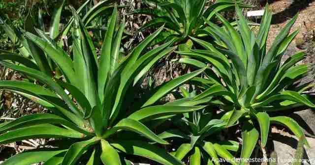Smooth agave - Dwarf desmettiana century plant