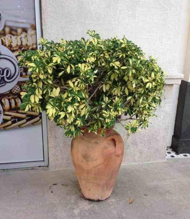 Dwarf variegated Arboricola bush growing in vase
