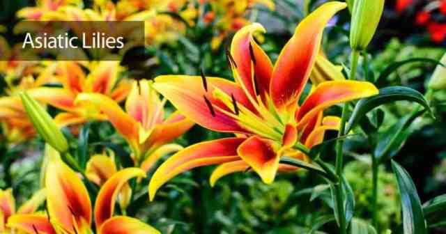 Colorful Asiatic lily flowers