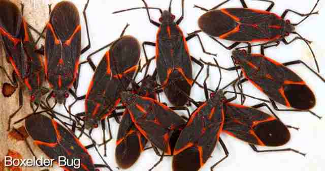 Group of boxelder bugs with their red striped backs